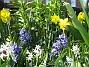 Påskliljor och Hyacinter  2011-04-24 008