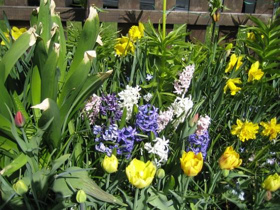 Hyacinter, Tulpaner, Påskliljor {  }