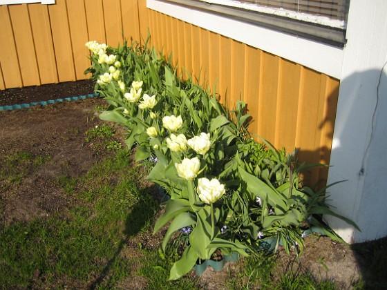Tulpaner  2011-05-06 IMG_0020 Granudden Färjestaden Öland