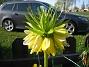 Kejsarkrona  2011-05-06 IMG_0015