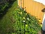Påskliljor  2011-05-06 IMG_0040