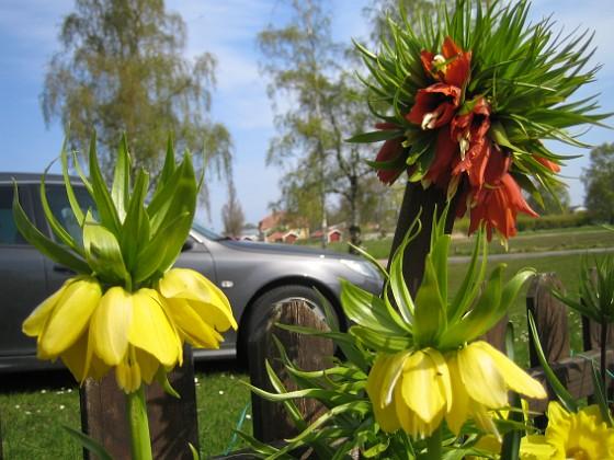 Kejsarkrona &nbsp 2011-05-07 IMG_0012 Granudden Färjestaden Öland