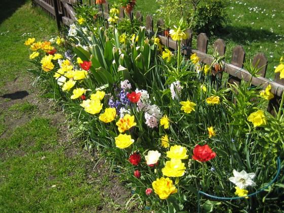 Tulpaner, Påskliljor och Hyacinter {  }