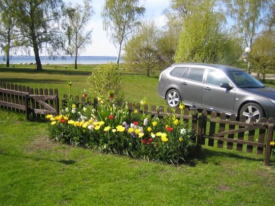 Tulpaner  2011-05-07 IMG_0100 Granudden Färjestaden Öland