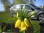 Kejsarkrona  2011-05-07 IMG_0131