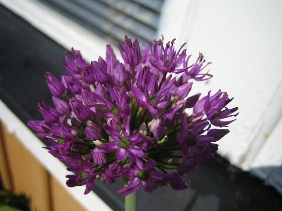 Allium,