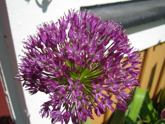 Allium, 'Purple Sensation' &nbsp 2011-05-22 IMG_0028 Granudden Färjestaden Öland