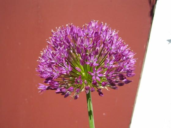 Allium, 'Purple Sensation'  2011-05-22 IMG_0030 Granudden Färjestaden Öland