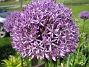 Allium  2011-05-29 IMG_0002