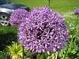 Allium  2011-05-29 IMG_0003