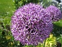 Allium  2011-05-29 IMG_0004