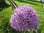Allium 'Purple Sensation'  2011-05-29 IMG_0005