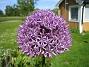 Allium 'Purple Sensation'  2011-05-29 IMG_0006