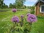 Allium 'Purple Sensation'  2011-05-29 IMG_0007