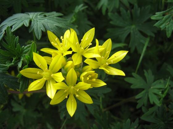 Allium {  }