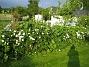 Prästkrage  2011-06-11 IMG_0003