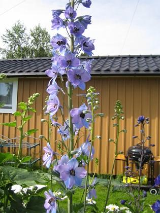 Riddarsporre  2011-06-20 IMG_0021 Granudden Färjestaden Öland