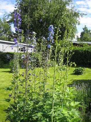 Riddarsporre  2011-06-24 IMG_0026 Granudden Färjestaden Öland