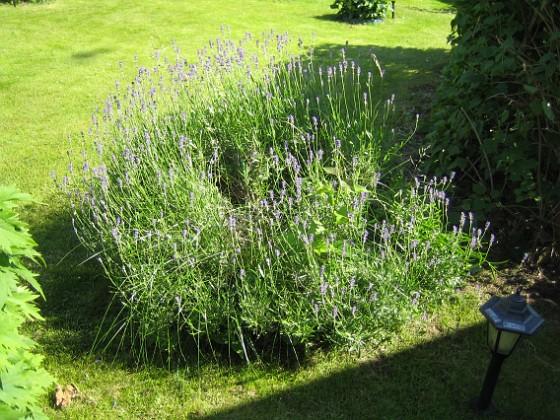 Lavendel &nbsp 2011-06-24 IMG_0027 Granudden Färjestaden Öland