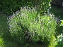 Lavendel  2011-06-24 IMG_0023