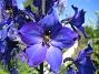 Riddarsporre  2011-06-27 IMG_0090