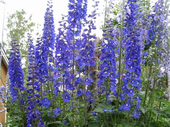 Riddarsporre Dessa Riddarsporrar har en fantastisk blå färg. 2011-07-04 IMG_0001 Granudden Färjestaden Öland