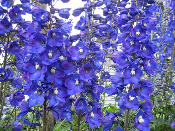 Riddarsporre Bara blått och lite vitt i mitten. 2011-07-04 IMG_0004 Granudden Färjestaden Öland