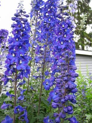 Riddarsporre Jag får aldrig nog av blå blommor! 2011-07-04 IMG_0005 Granudden Färjestaden Öland