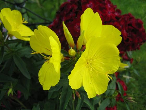 Nattljus { Oenothera Fruticosa heter den på Latin, Gullnattljus. }