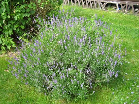 Lavendel Denna buske doftar gott. 2011-07-04 IMG_0169 Granudden Färjestaden Öland