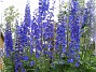Dessa Riddarsporrar har en fantastisk blå färg. (2011-07-04 IMG_0001)