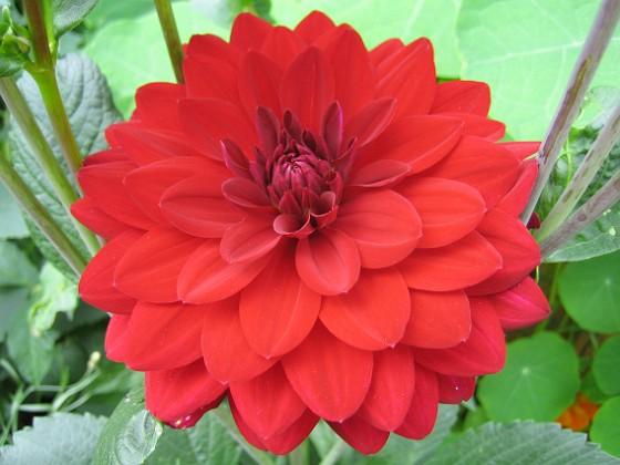 Dahlia { Den röda färgen ser en aning ljusare ut på bilden än var den är i verkligheten. }
