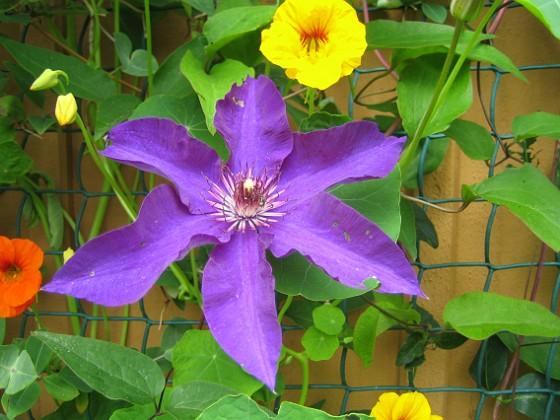 Klematis { Jag har haft lite tunnsått med blommor på mina Klematis tidigare, men i år har jag fått massvis med blommor! }