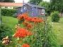 Studentnejlika Röd färg i förgrunden och blå färg i bakgrunden. En vacker färgkombination. 2011-07-07 IMG_0012