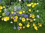 IMG_0021 Gult och blått i form av Sömntutor och Blåklint. 2011-07-07 IMG_0021