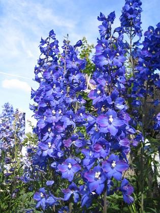 Riddarsporre { Blåa blommor mot blå himmel! }