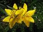 Liljor Denna gula färg är verkligen 'mustig'. 2011-07-08 IMG_0006