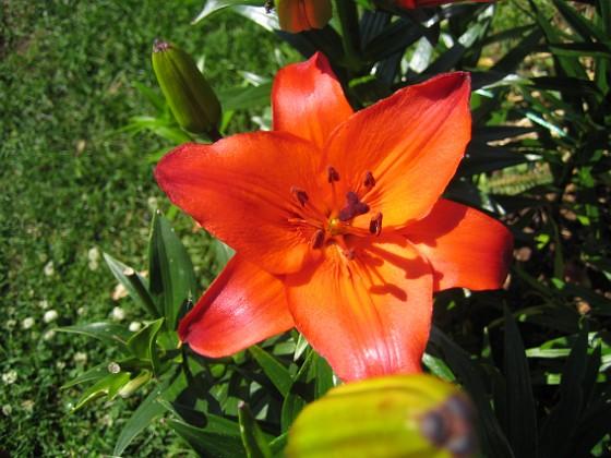 Liljor Denna Lilja ser ut att vara glödande het i solskenet.&nbsp 2011-07-09 IMG_0007 Granudden Färjestaden Öland