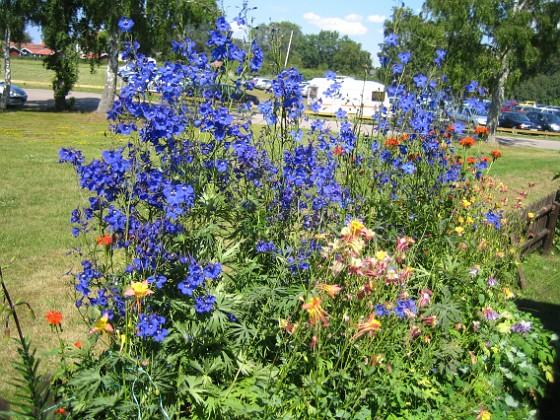 Även de blå blommorna ser ut att lysa, likt en neonskylt. 2011-07-09 IMG_0014 Granudden Färjestaden Öland