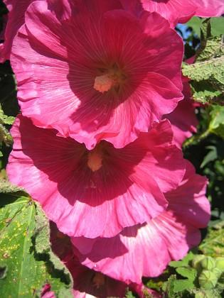 Dessa blommor är enorma. 2011-07-09 IMG_0022 Granudden Färjestaden Öland