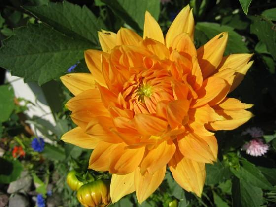 Den här Dahlian ser ju ut som en liten sol. 2011-07-09 IMG_0042 Granudden Färjestaden Öland