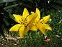 Liljor Dessa gula blir vackrare i skarpt solsken. 2011-07-09 IMG_0003