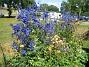 Även de blå blommorna ser ut att lysa, likt en neonskylt. (2011-07-09 IMG_0014)