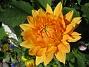 Den här Dahlian ser ju ut som en liten sol. (2011-07-09 IMG_0042)