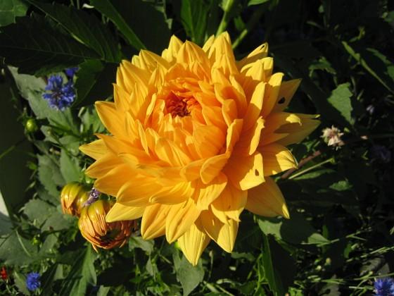 Dahlia { En Dahlia som i sig ser ut som en sol, i vackert solsken och med mörk bakgrund. }