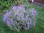 Lavendel  2011-07-11 IMG_0055
