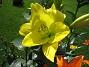 IMG_0011 Den gula jätteliljan igen. 2011-07-12 IMG_0011