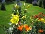IMG_0012 Dessa gula liljor sticker upp minst 20 cm ovanför de andra. 2011-07-12 IMG_0012