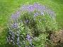 Lavendel  2011-07-13 IMG_0115