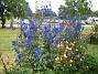 Riddarsporre  2011-07-13 IMG_0124